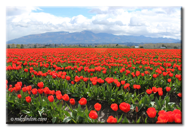 Red tulips at Skagit Valley Tulip and Daffodil Festival in Washington at the Roozen Gaarde®