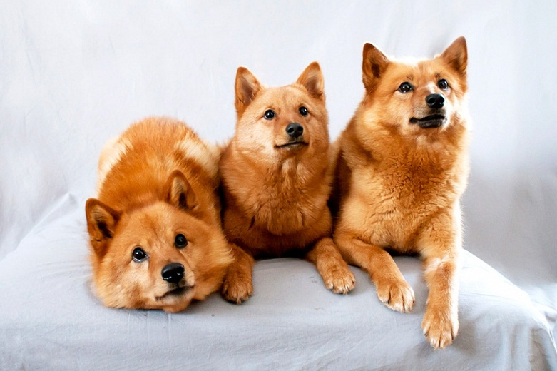 Everything about your Finnish Spitz