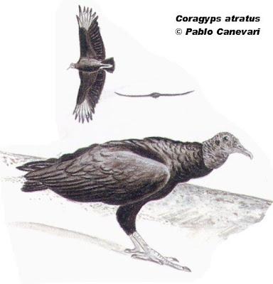 Jote cabeza negra Coragyps atratus