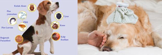 Köpeklerde Dış parazit belirtileri