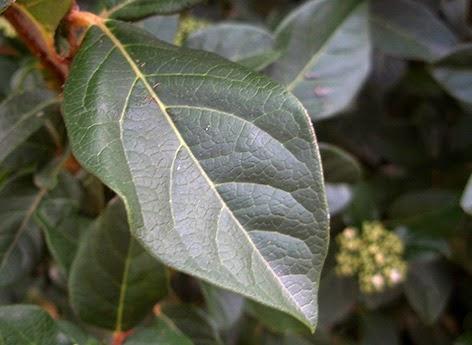 Hoja del Durillo (Viburnum tinus)