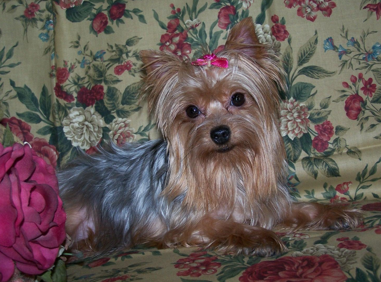 different yorkie breeds all list of different dogs breeds yorkie dogs small dog 6782