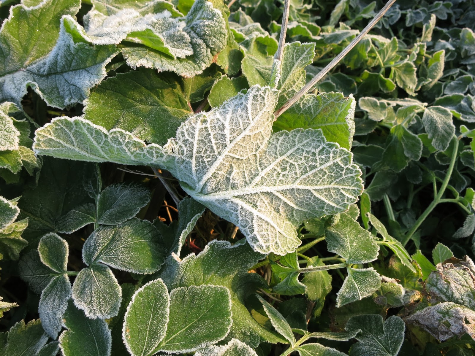 Growing leaf felled by frost.