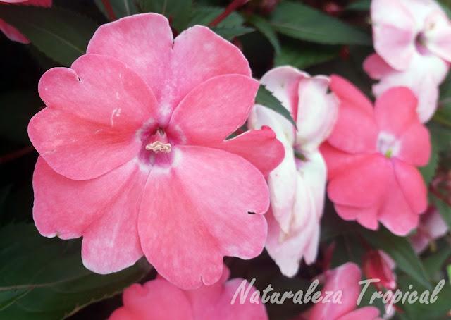 Flor de las madamas (género Impatiens)