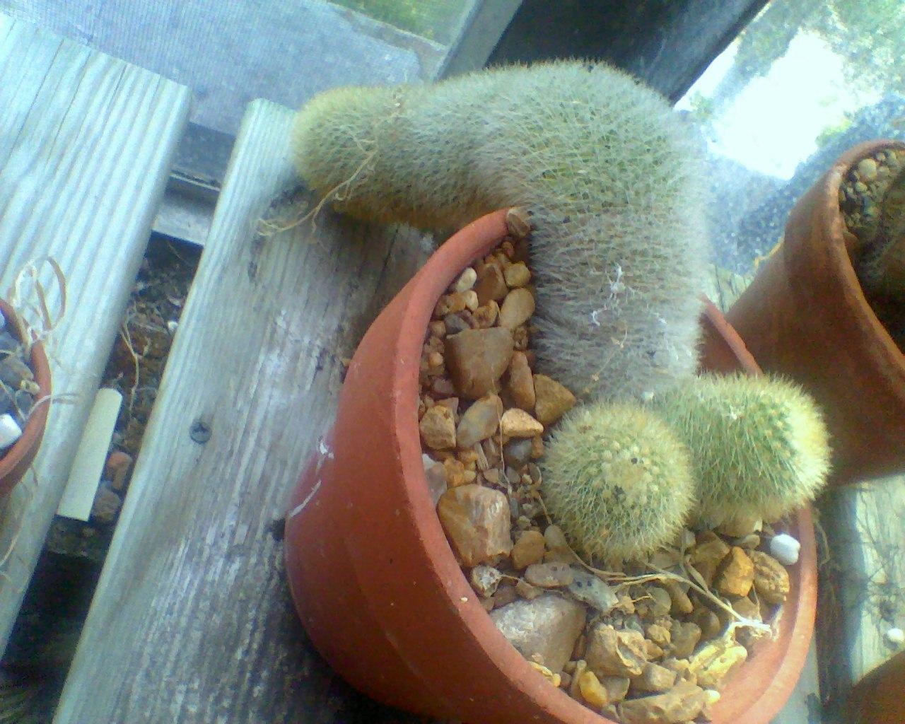 Penis Cactus 86