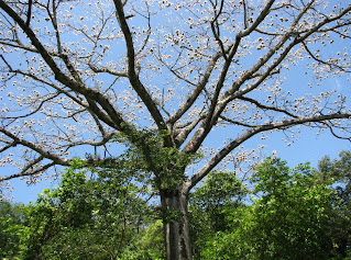 Ceiba - Kapok Seeds