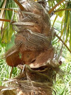Saribus rotundifolius - Saribus à feuilles rondes