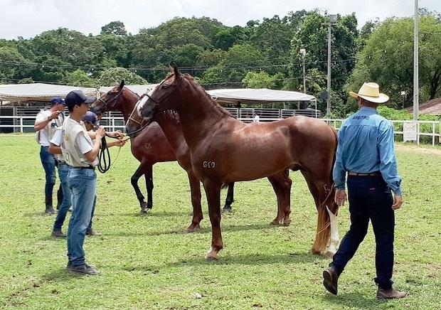 Exposição reúne criadores de cavalos mangalarga marchador em Pernambuco