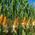 Jagung Hibrida solusi komoditi pangan untuk pakan dan industri