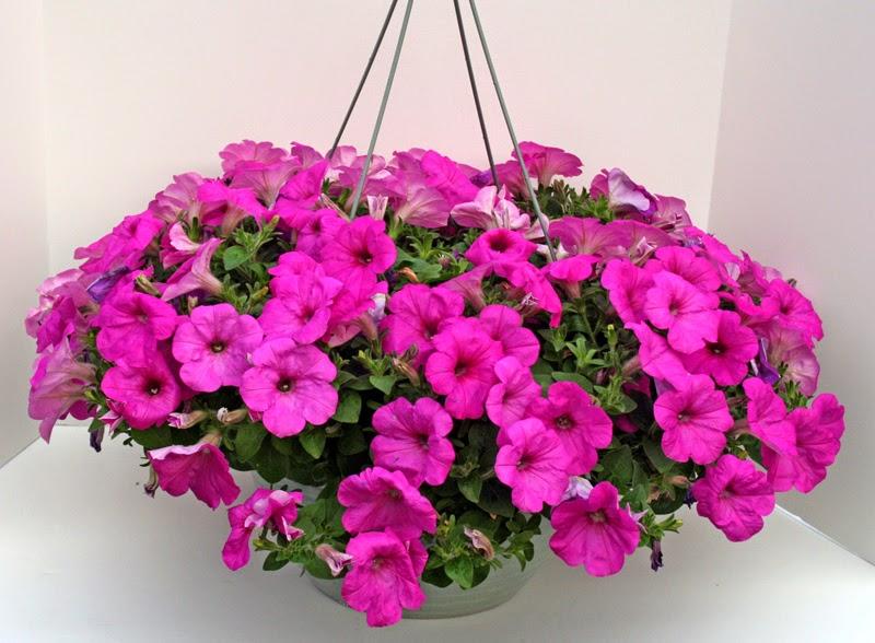 Small Hanging Basket Flowers: Dan Schantz Greenhouse And Cut Flower Outlet