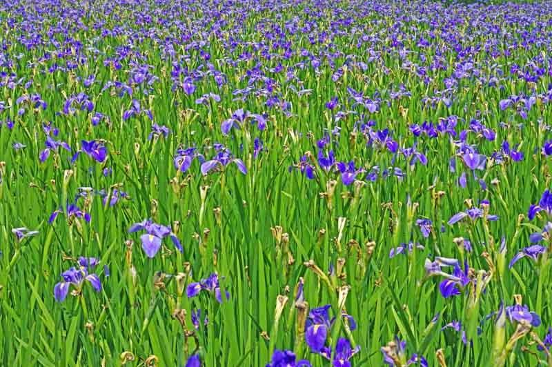 iris field in blossom