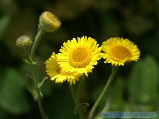 Pulicaire commune - Pulicaria vulgaris