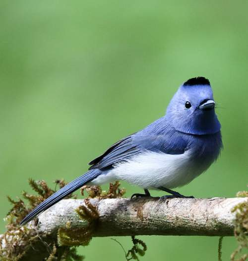 Indian birds - Photo of Black-naped monarch - Hypothymis azurea