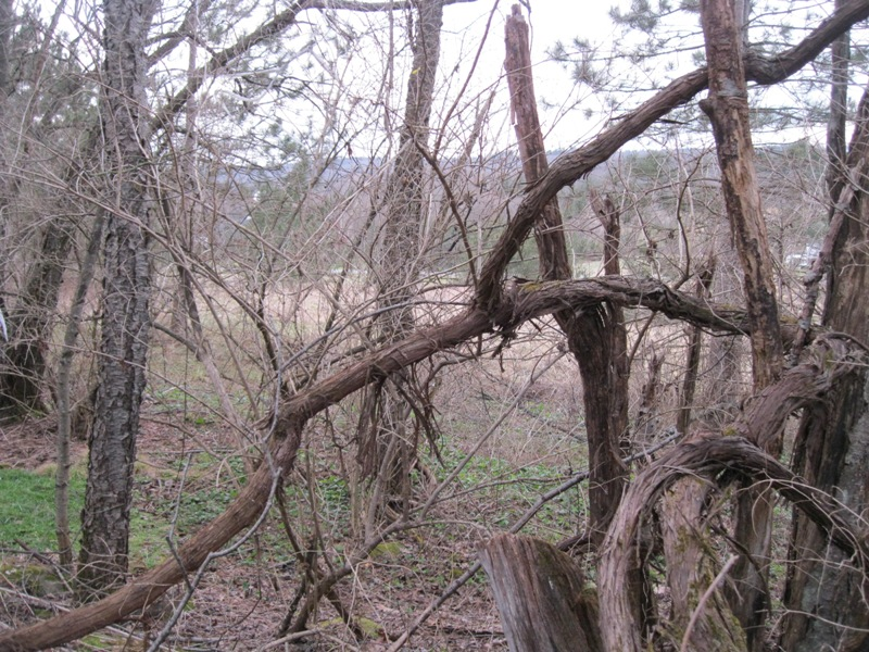 He Found Wild Grape Vines Claiming The Tree Line Their Unusual Structure And Growth Habit Make Them Interesting Plants But They Kill Trees That
