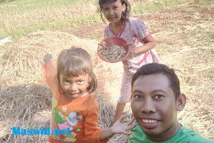 Cari Jamur Merang Padi di Sawah Bersama Anak