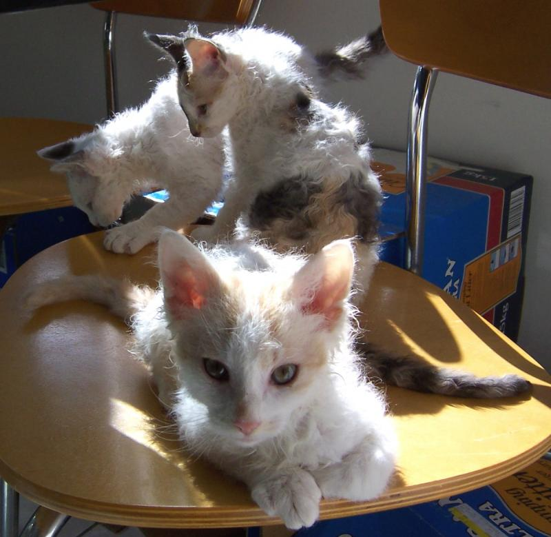 Amazing Dogs Breeds Laperm Cat