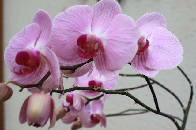 wunderschöne Orchideen