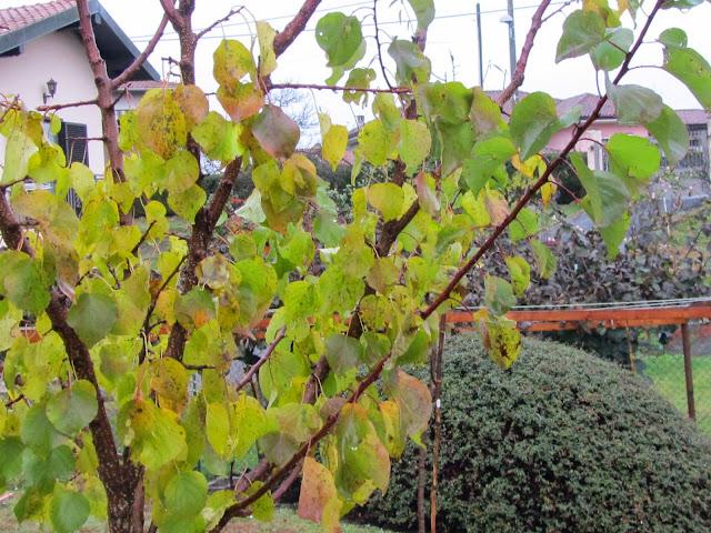 Foglie albicocco autunno