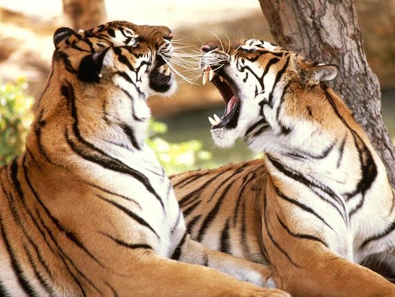 Gambar Harimau Melompat
