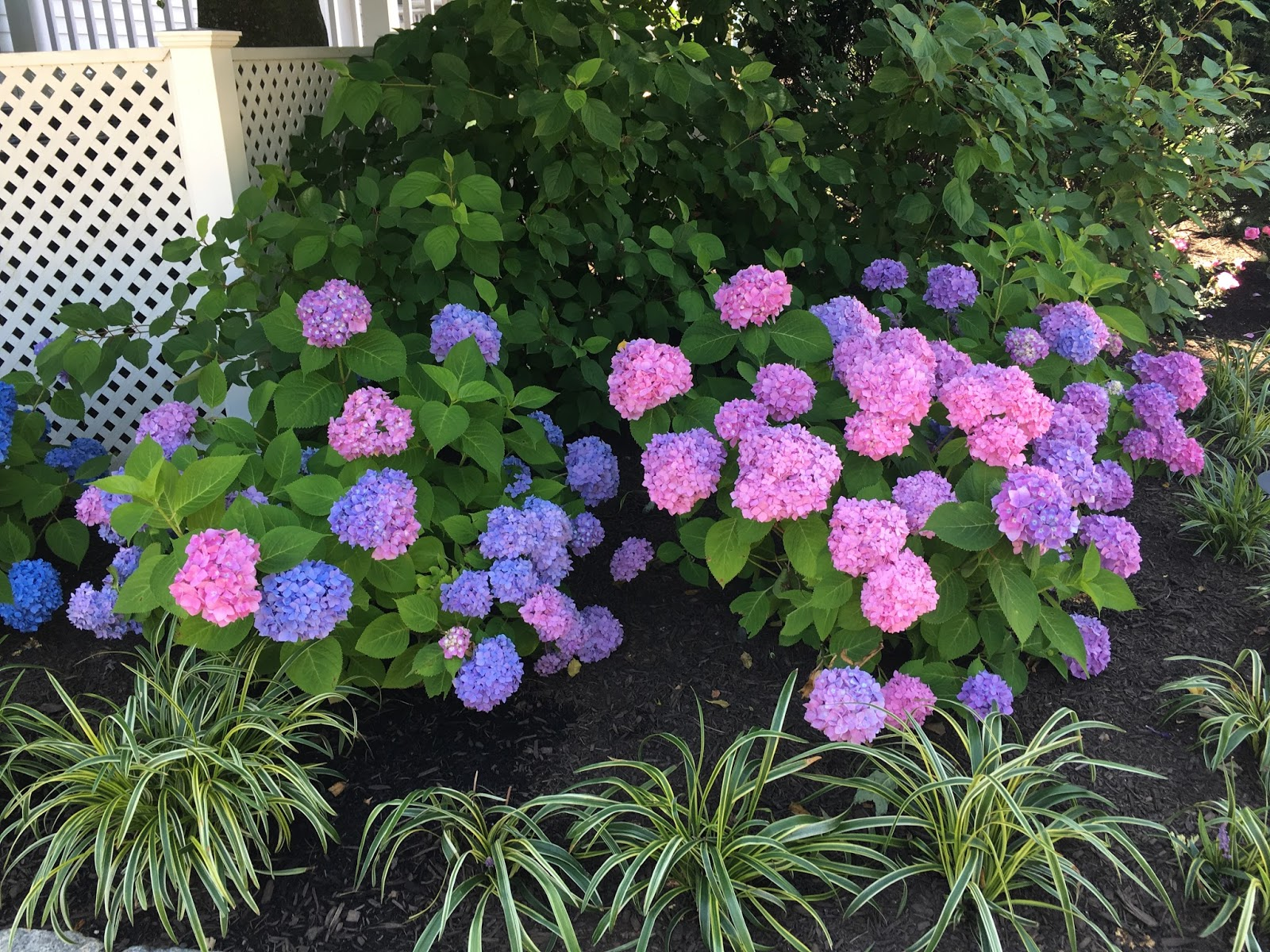 Hydrangeas seen on beautiful home garden tour