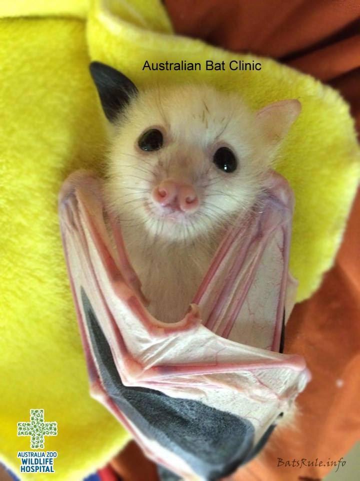 megabat pics 2017 flying foxes fruit bats