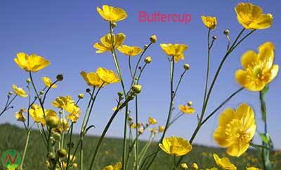 buttercup flower, buttercup