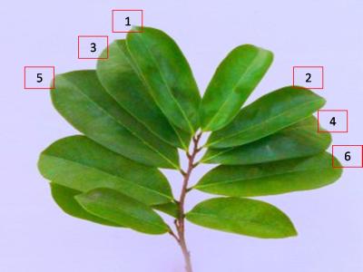 Salah satu materi baku jamu yang kami jual ialah daun sirsak kering dan serbuk Jual Daun Sirsak Kering dan Serbuk