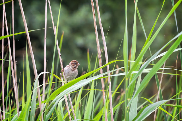 Perched on a grass stalk this female reed bunting looks around for food