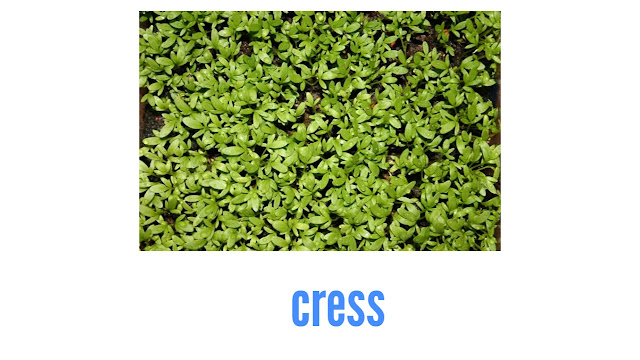 Cress lettuce