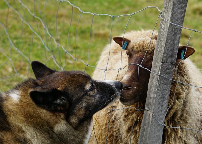 Lammas, löytökoira