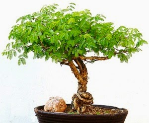 An Acacia Bonsai