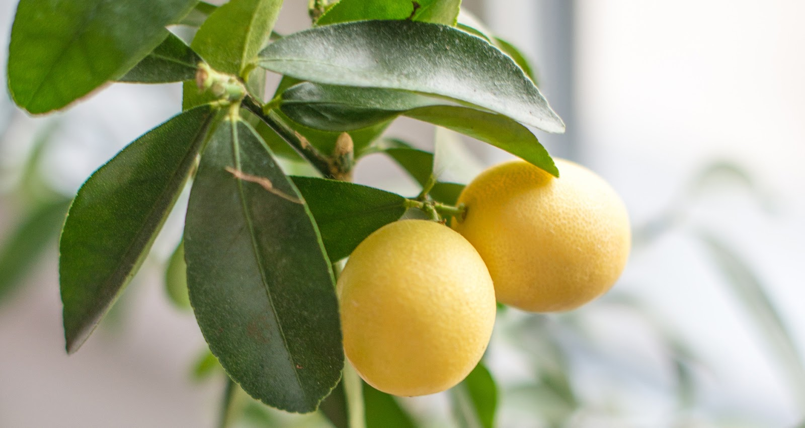 A Complete Guide! How To Grow Lemon Tree ! Garden Bible