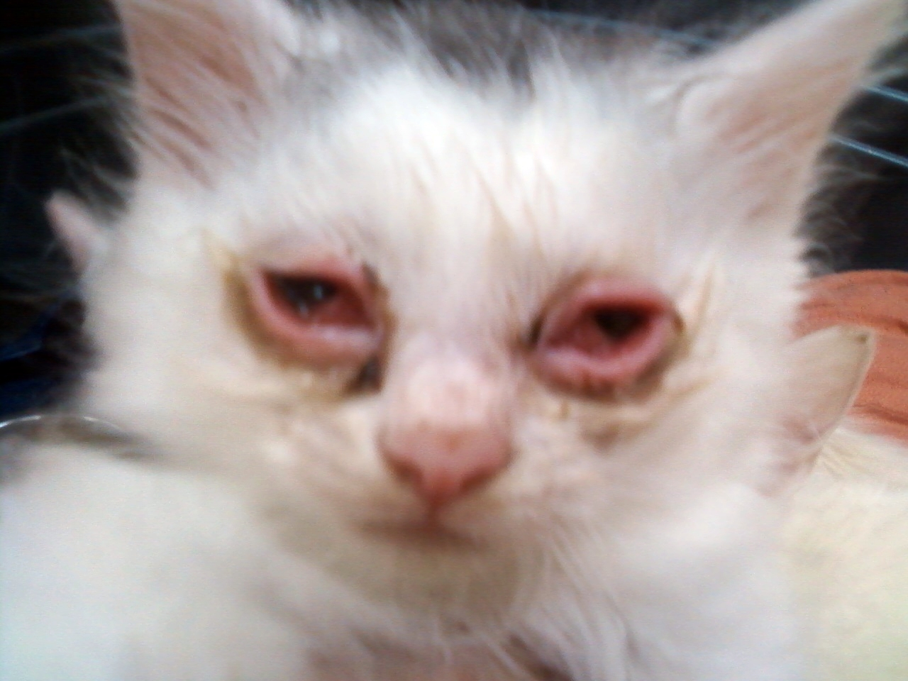 Kitten With Pink Eye Feline Conjunctivitis