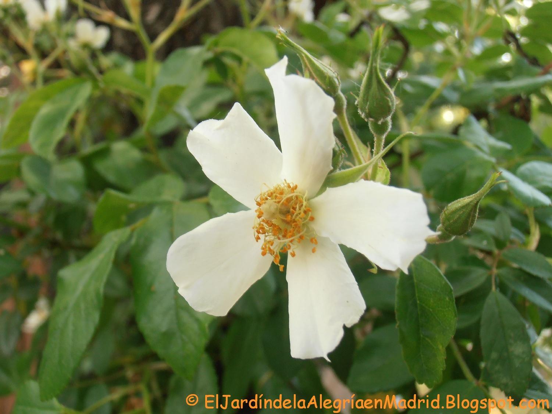 El jardín de la alegría : Rosa \'Wedding Day\'. A veces los rosales ...