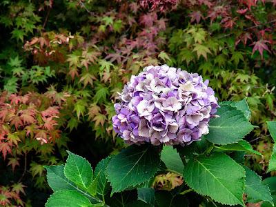 Ajisai (Hydrangea macrophylla) flower: Engaku-ji