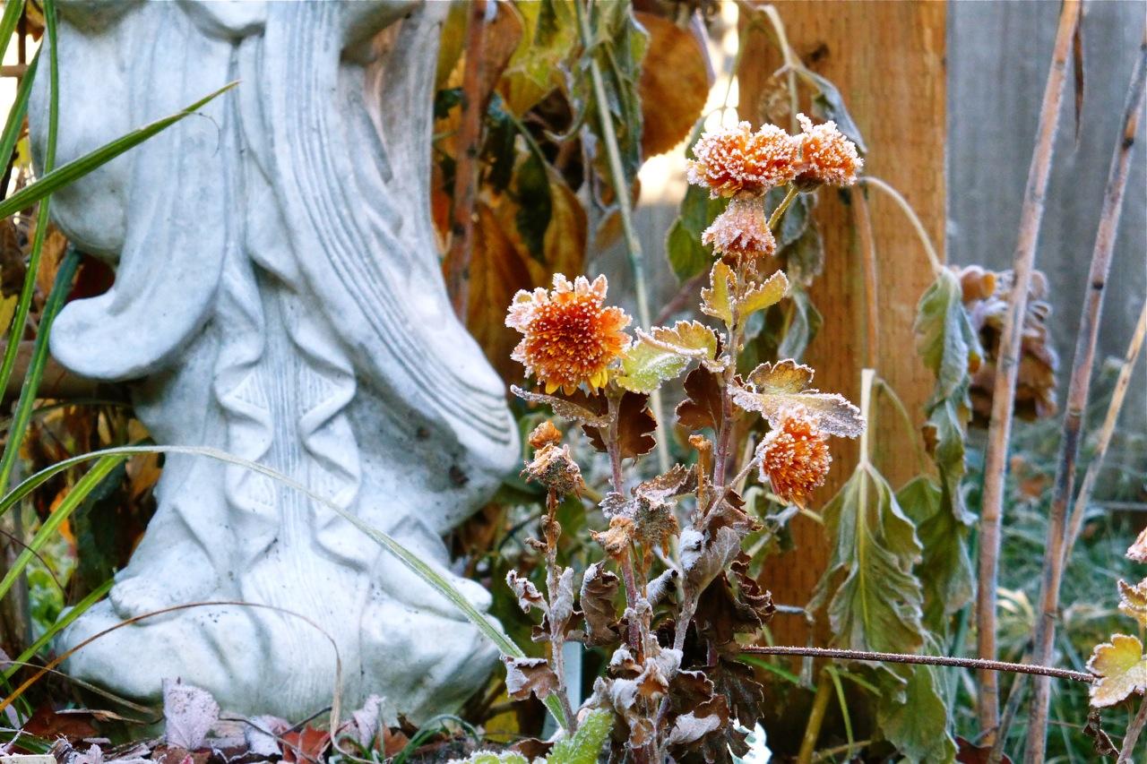 chrysanthemum, frosty chrysanthemum