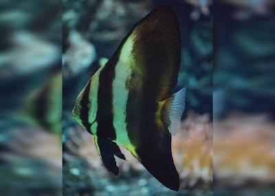 Longfin Batfish Si Ikan Kelelawar Yang Gagah