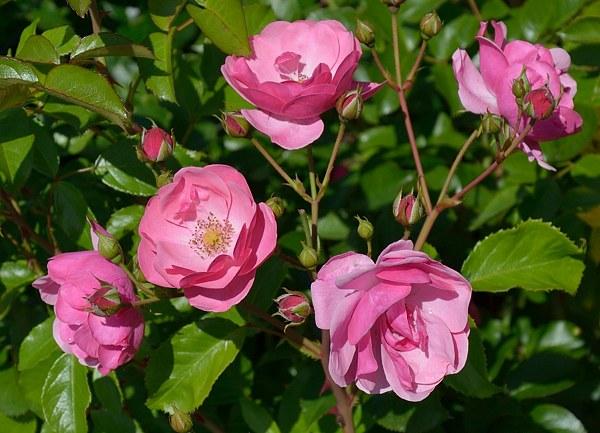 Angela сорт розы фото