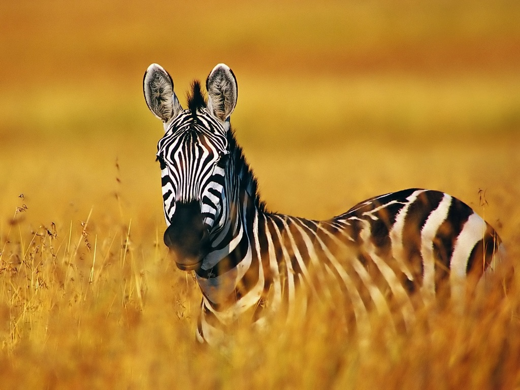 Zebra | HD Wallpapers (High Definition) | Free Background