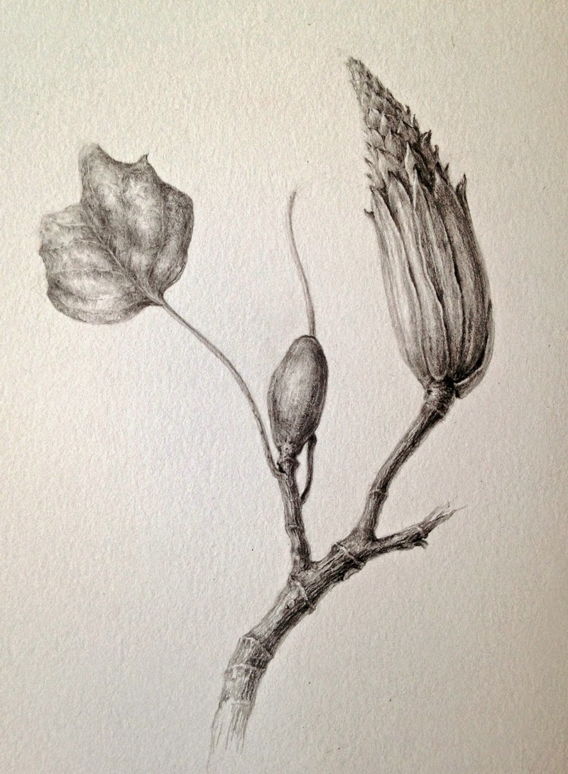 Day 7 and 8. Tulip Tree, Seed - Head  in Watercolour and Graphite