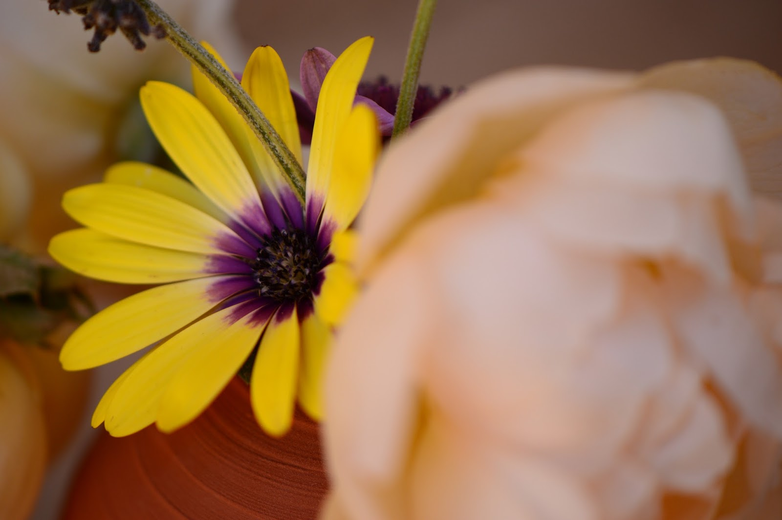 "Osteospermum ""Blue-eyed Beauty"", Monday Vase meme"