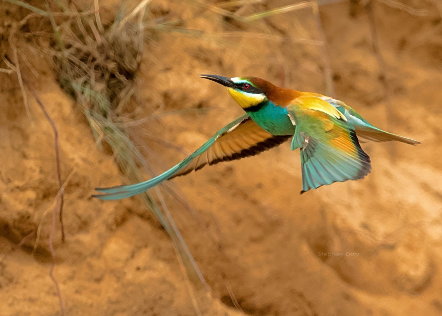 European Bee-eaters in Spain