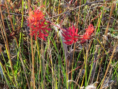 red geranium leaves