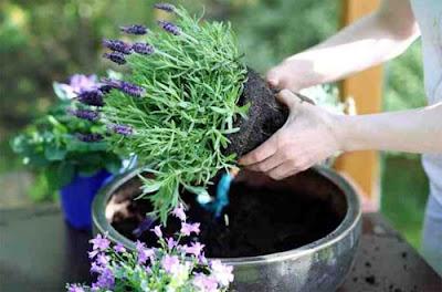Cara Menanam Bunga Lavender Di Pot