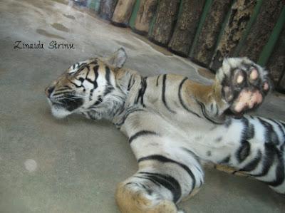 zoo-praga-tigrul-lenes