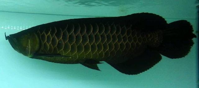 Jenis Ikan Arwana dari Genus Arapaima