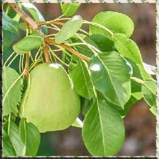 Armut  meyve armudun faydaları Pear fruit pear pear losses vitamin benefits Frutto pera pera pera benefici perdite di vitamine armut zararları vitamin Плід груші груші переваги втрати груші вітамін