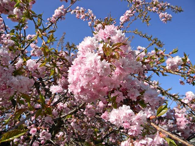 Drzewa kwitnące na różowo w arboretum w Wojsławicach.
