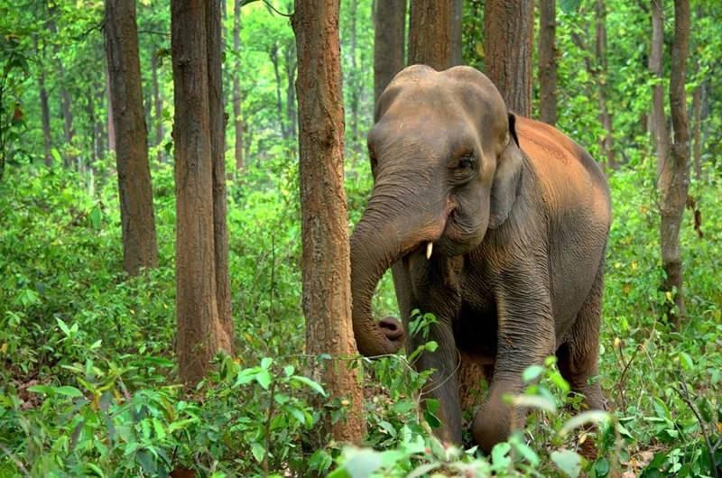 elefante asiático numa floresta