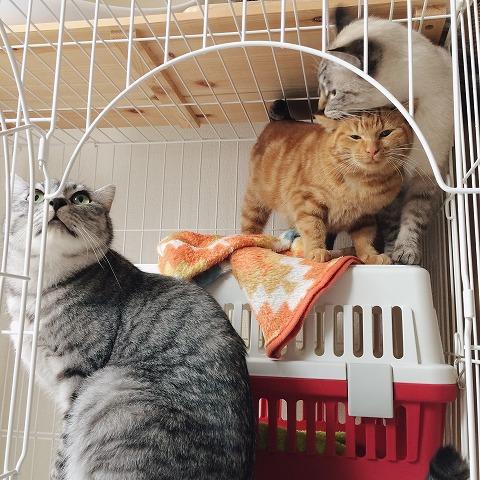 シャムトラ猫にすり寄って甘える茶トラ猫
